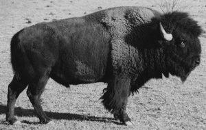 """Bison bull """"Elvis"""""""